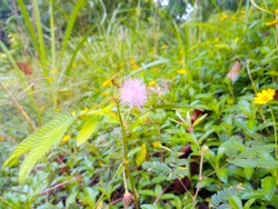 Sensitive plant flower. Scientific name Mimosa hispidula Kunth. Properties nourish the body. (Whole tree) Natural background