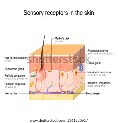 sensory receptors in the skin. Pressure, vibration, temperature, pain and itching are transmitted via special receptory organs and nerves. illustration for biological, science, medical use