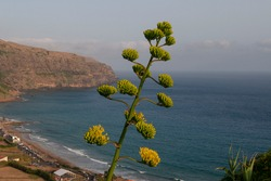 sentry plant, century plant, maguey or American aloe (Agave americana) Azores Islands, Portugal