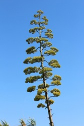 Sentry plant, century plant, maguey or American aloe (Agave americana) on blue sky background
