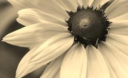Sepia daisy close up