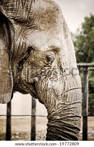 sepia elephant