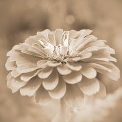 Sepia flower.