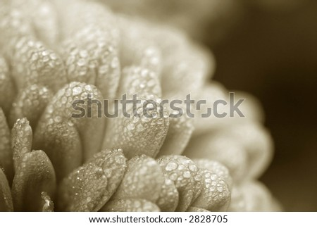 Sepia mum bloom with morning dew artistically placed in the corner