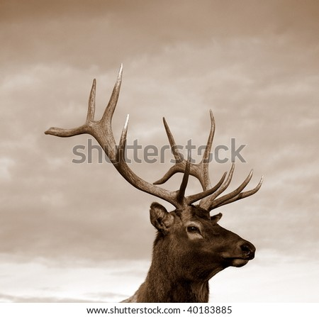 Sepia of a young male Wapiti elk