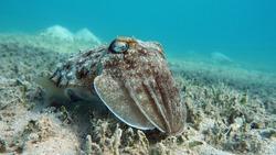 Sepia pharaonis. Mollusks, type of Mollusk. Head-footed mollusks. Cuttlefish squad. Pharaoh cuttlefish.