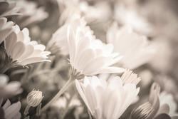 Sepia photo of beautiful fresh gentle daisy flowers, soft focus, spring time season