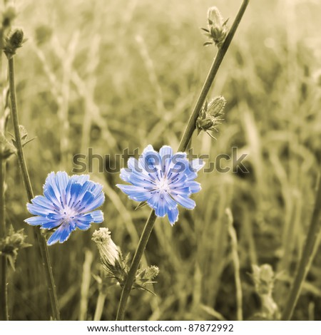 Sepia stylized flowers of chicory blossoming on a meadow