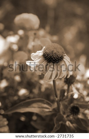Sepia Tone Cone Flower in the Garden