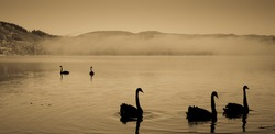 sepia toned group of silhouetted swans drifting across a calm lake with distant morning fog