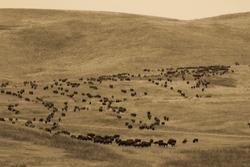 SEPT 27, 2019, CUSTER STATE PARK, SOUTH DAKOTA, USA - Annual Custer State Park Buffalo Roundup