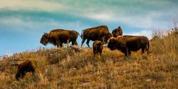SEPTEMBER 24, 2019, CUSTER STATE PARK, SOUTH DAKOTA - Amerian  Bison known as Buffalo