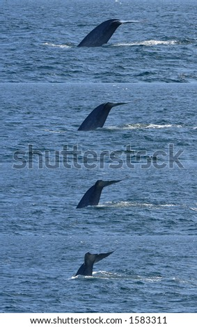 Sequence of a blue whale's tail flukes as he dives off of Santa Barbara, California