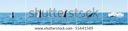 Sequence of a breaching gray whale in Guerrero Negro, Mexico