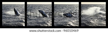 sequence of a Humpback whale calf breaching