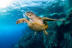 sequence of photos of a sea turtle feeding on jellyfish on the red sea