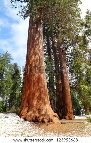 Sequoia in Sequoia National Park in California, USA