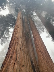Sequoia national Forest large sequoias