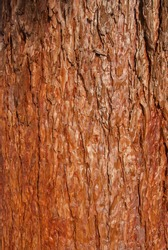 Sequoia sempervirens redwood bark closeup as wooden background