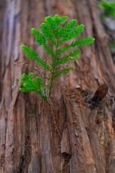 SEQUOIA (Sequoia sempervirens) the sole living species of the genus Sequoia in the cypress family Cupressaceae (formerly treated in Taxodiaceae) Evergreen tree known as California or coastal  redwood