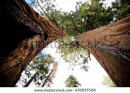 Sequoia Trees, Sequoia National Park, California 2017 #690899584