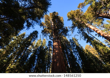 Sequoiadendron giganteum, Giant Sequoia tree trunks reach up like dancers to the blue sky