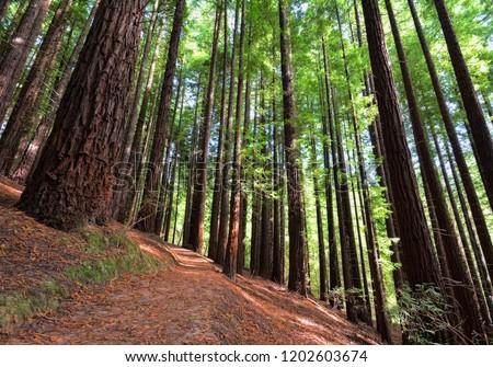 Sequoias in Cabezon de la Sal, Spain. Natural Monument of the Sequoias Monte Cabez—n. Foto stock ©