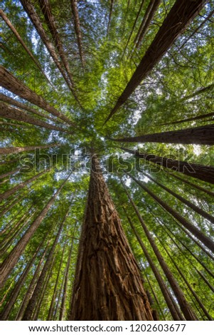 Sequoias in Cabezon de la Sal, Spain. View from below at Natural Monument of the Sequoias Monte Cabez—n. Foto stock ©