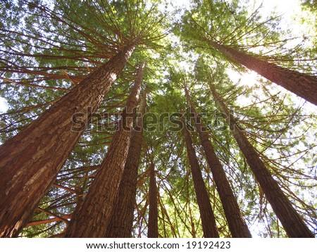 Sequoias Yosemite National Park. California. USA