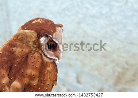 Serak Bukit, Phodilus Badius Owl or Oriental Bay Owl, Close up Picture from Behind