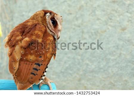 Serak Bukit, Phodilus Badius Owl or Oriental Bay Owl, Picture from Behind