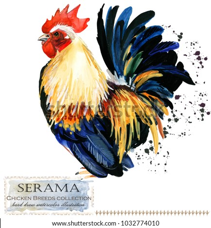Serama Rooster. Poultry farming. Chicken breeds series. domestic farm bird