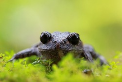 Serasah frog closeup face on green moss