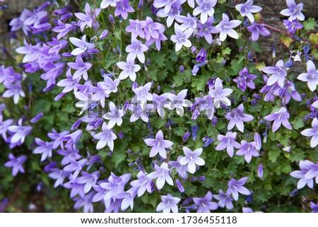 Serbian bellflowers, botanical name Campanula Poscharskyana Photo stock ©
