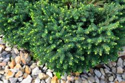 Serbian spruce Karel (Picea omorica Karel) - dwarf ornamental evergreen coniferous plant for landscaping, gardening, horticulture. Decorative conifer for landscape design of park or garden