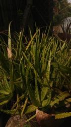 Serdang, Malaysia - January 17th 2021 - Beautiful aloe vera plant