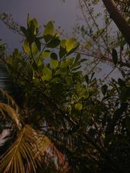 Serdang, Malaysia - January 17th 2021 - Beautiful leaves at dusk