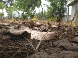 Serdang, Malaysia - January 16th 2021 - Dry leaves falling on the ground