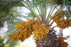 Serdang Palm (Livistona rotundifolia) clusters of seed on tree trunk