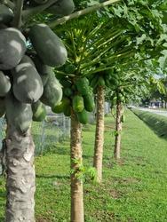 Serdang, Selangor-November,12,2020: The branch of papaya.