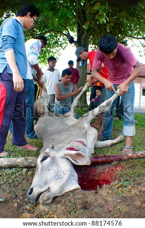 SEREMBAN, MALAYSIA - NOVEMBER 6: Unidentified  Malaysian Muslims help in slaughtering a cow during Eid Al-Adha Al Mubarak, the Feast of Sacrifice on November 6, 2011 in Seremban, Malaysia.
