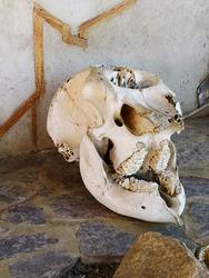 Serengeti Africa, 24.2.2018, an pre-historic elephant skull sitting outside a volunteer center.