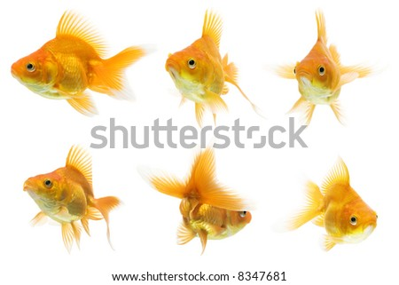 Series of red ryukin goldfish swimming against white background.