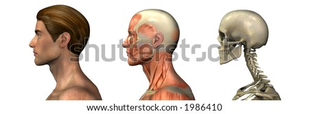 Series of three anatomical 3D renders depicting a man in profile, head and shoulders, muscles and skull. These images will line up exactly, and can be used as overlays to study anatomy.