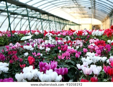 series of vases of flowers violets and cyclamen in a greenhouse in winter