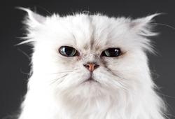 Serios cat head on in studio