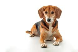 Serious beagle mix dog is looking at camera, studio shot