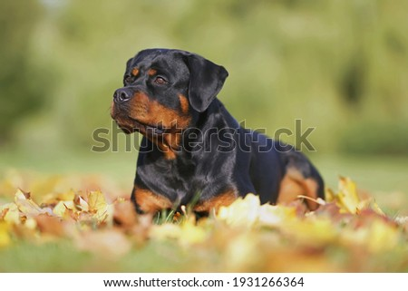 Serious black and tan Rottweiler dog posing outdoors lying down on fallen maple leaves in autumn Zdjęcia stock ©