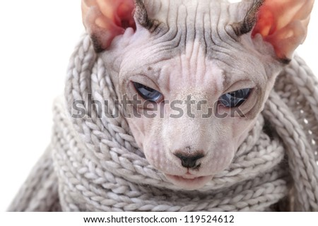 serious Canadian Sphynx cat with winter knitted scarf close-up portrait