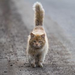 Serious cat walking towards the camera